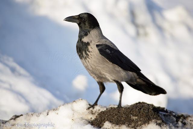Les animaux magiques : le corbeau et la corneille  11919-Hooded-Crow