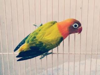 Lovebird Euwing atau Ewing