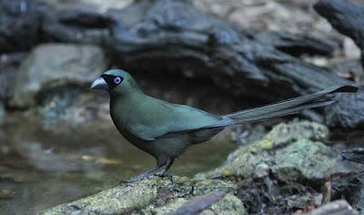Mengenal Dekat Jenis Dari Burung Murai Irian/Tangkar Centrong Yang Bisa Di Jadikan Masteran