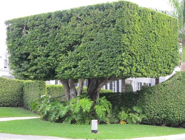 Старое дерево самшита в городе