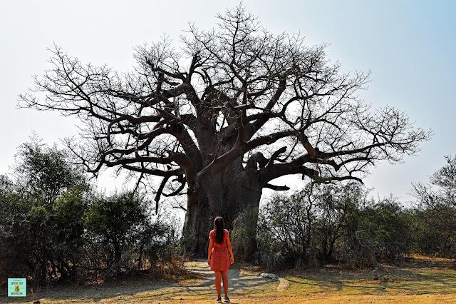 Baobabs en Mahango, Namibia