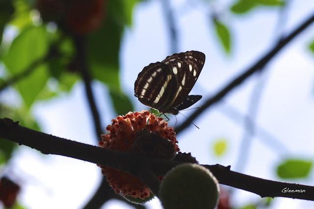 構樹的果實很Juicy,台灣三線蝶也愛