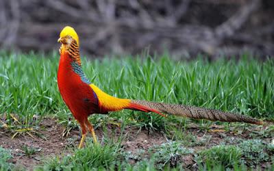 """Burung Golden Pheasant"""