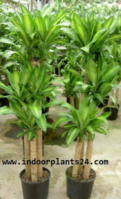 Dracaena Fragrans Massangeana Agavaceae photo