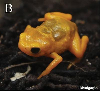 Nova espécie de sapo, ufv, Brachycephalus darkside, universidade Federal de Viçosa, sapo, nova espécie, ciência, natureza,
