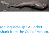 http://sciencythoughts.blogspot.co.uk/2016/01/mollisquama-sp-pocket-shark-from-gulf.html