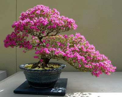 what is a bonsai tree azaela