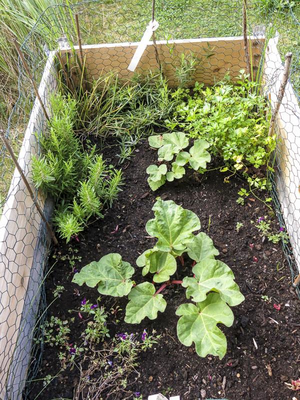odlingsbox, rabarber