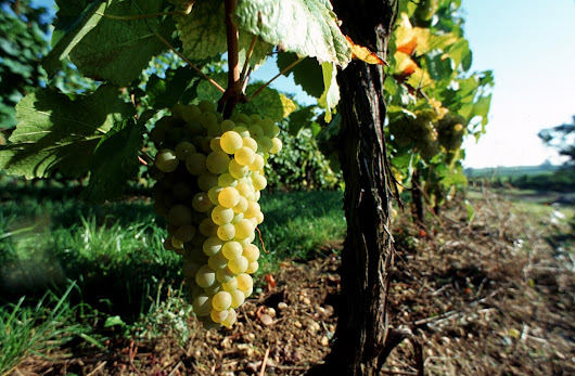 The Effects of the War on Alsace Wines - Guest Blog by Linda Vijeh