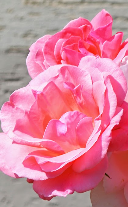 Pink Rose - Stands for Love, gratitude and appreciation - shewandersshefinds.com