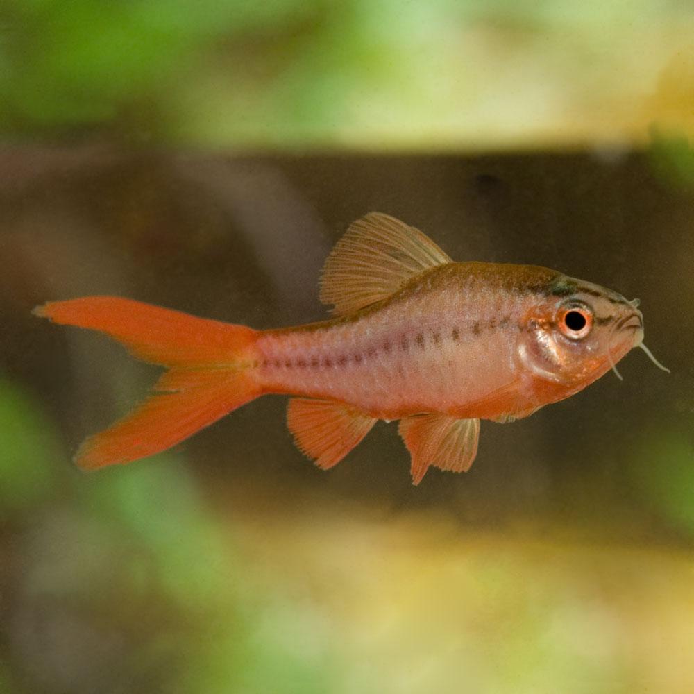 Joe 39 s aquaworld for exotic fishes mumbai india 9833898901 for Cherry barb fish