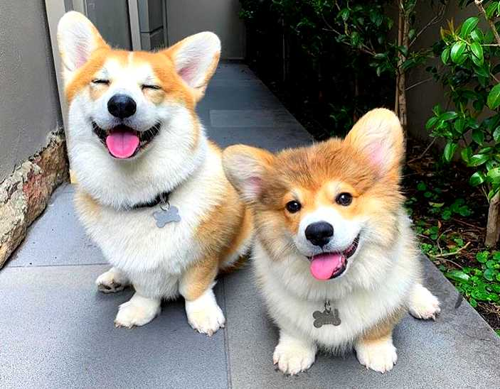 Corgi - 10 fun facts about this small dog with short legs