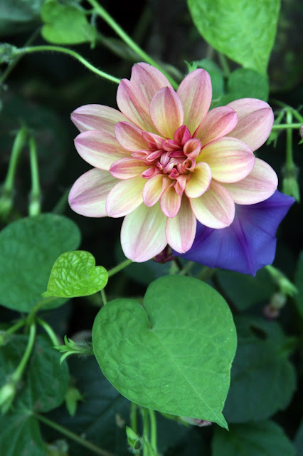 garden, autumn, dahlias, morning glories, hearts in nature, Anne Butera, My Giant Strawberry