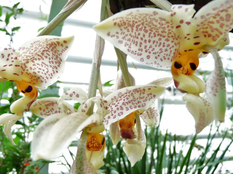 Orchidée STANHOPEA WHITTENII espèce botanique