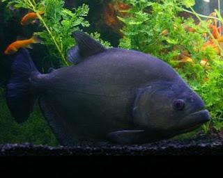 Piranha Hitam