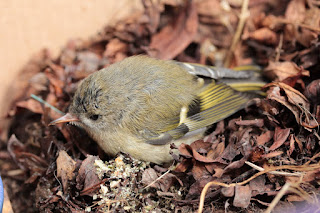 photo of juvenile goldcrest on a bed of leaves, by Corina Duyn