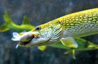 5 Langkah Jitu Melatih Menu Makan Bagi Ikan Predator