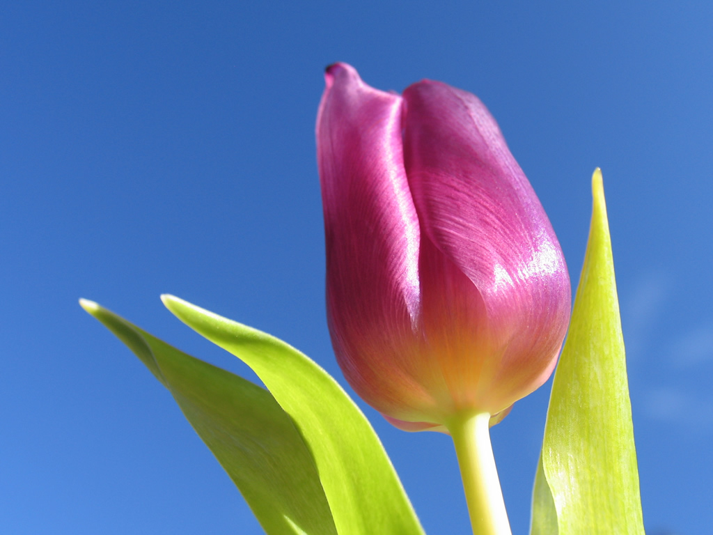 HD Wallpapers: Tulip Hd Wallpapers