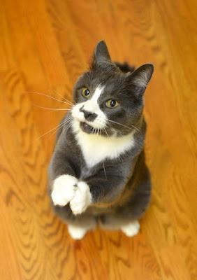 foto de un gato suplicando