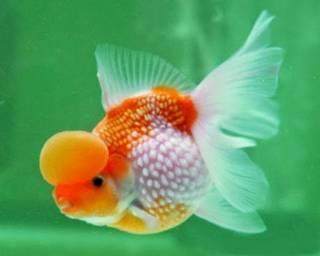 Jenis ikan hoki pembawa rejeki keberuntungan - koki