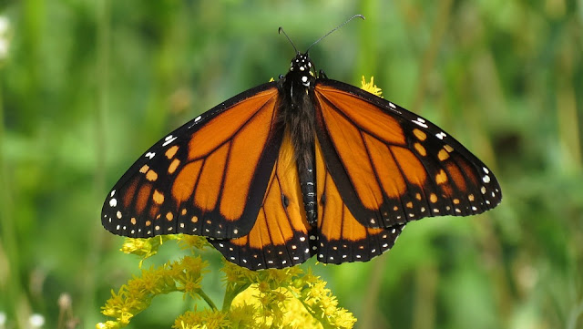 Monarch butterfly resting on a flower.