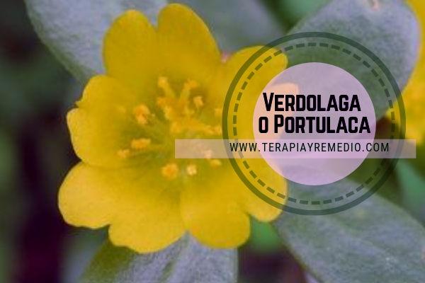 La verdolaga, Portulaca oleracea, medicina natural con abundante mucílago