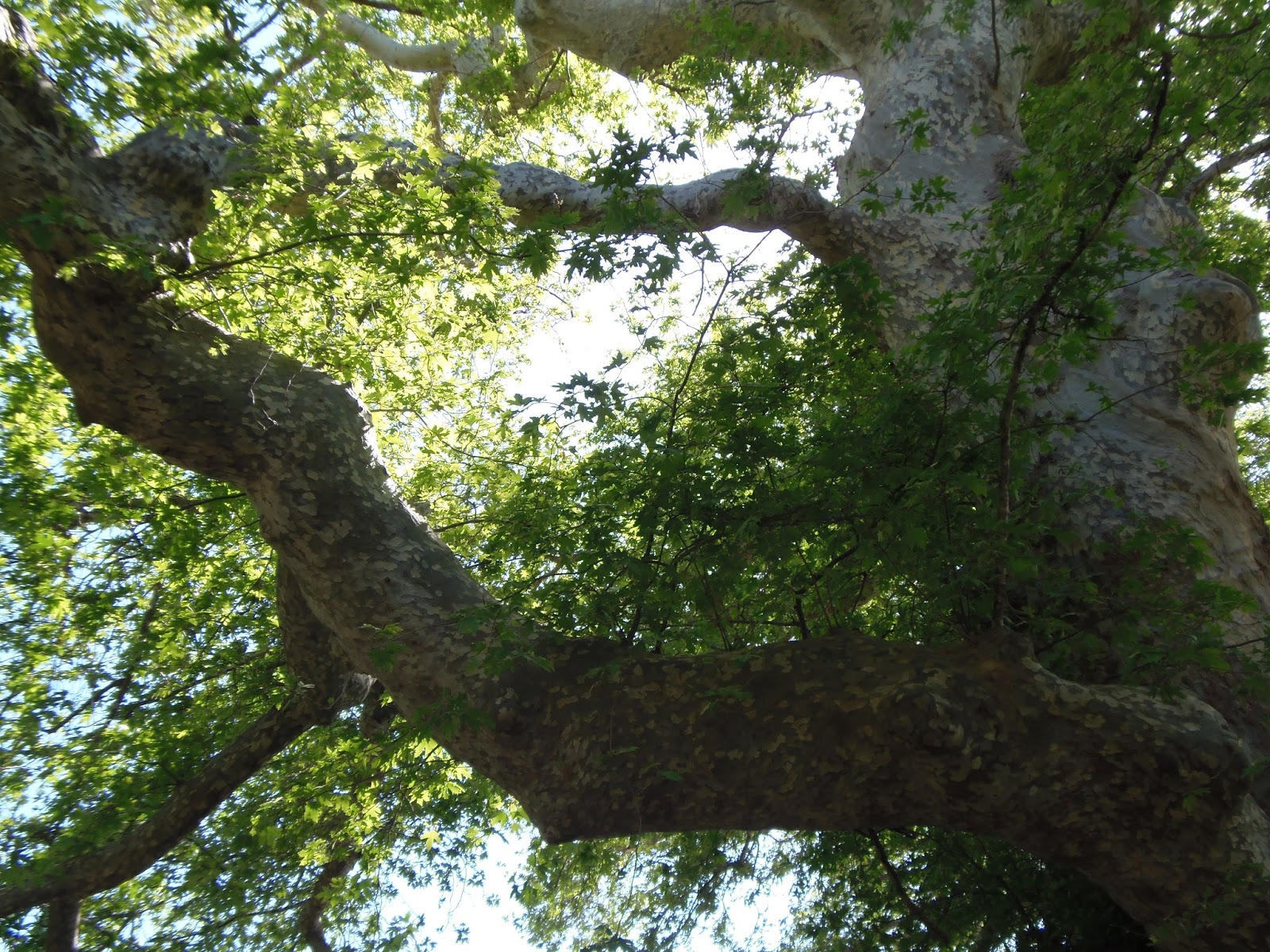 monumental plane tree, olive tree, fig tree, crete, greece, jeep safari, travel, traveling
