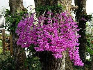 Dendrobium anosmum care and culture