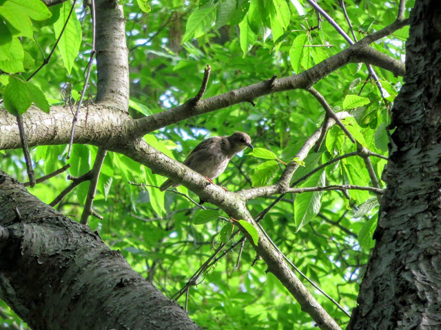 Northern Gray Mockingbird in Pittsburgh's Schenley Park