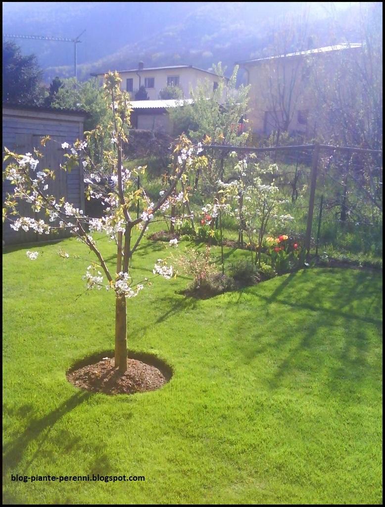 Un giardino di perenni in ticino - Ciliegio da giardino ...