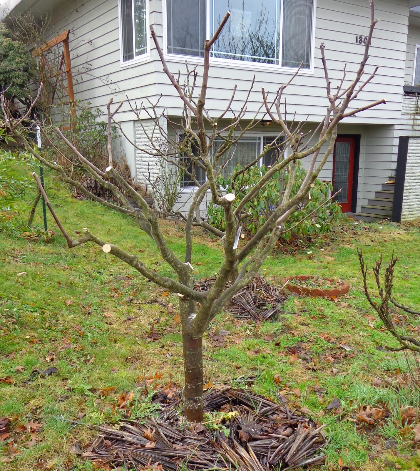 how do i prune mature pecan tree