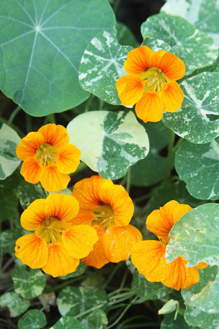 nasturtiums, Alaska Nasturtiums Mix, Garden Flowers, Summer, Anne Butera, My Giant Strawberry