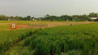Hama Wereng Masih Hantui Petani di Bantaran Bengawan Solo