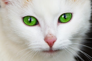 An image of a white cat's face