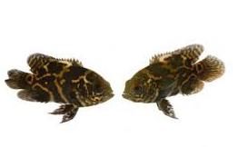 Inilah Cara Memedakan Ikan Oscar Jantan Dan Betina