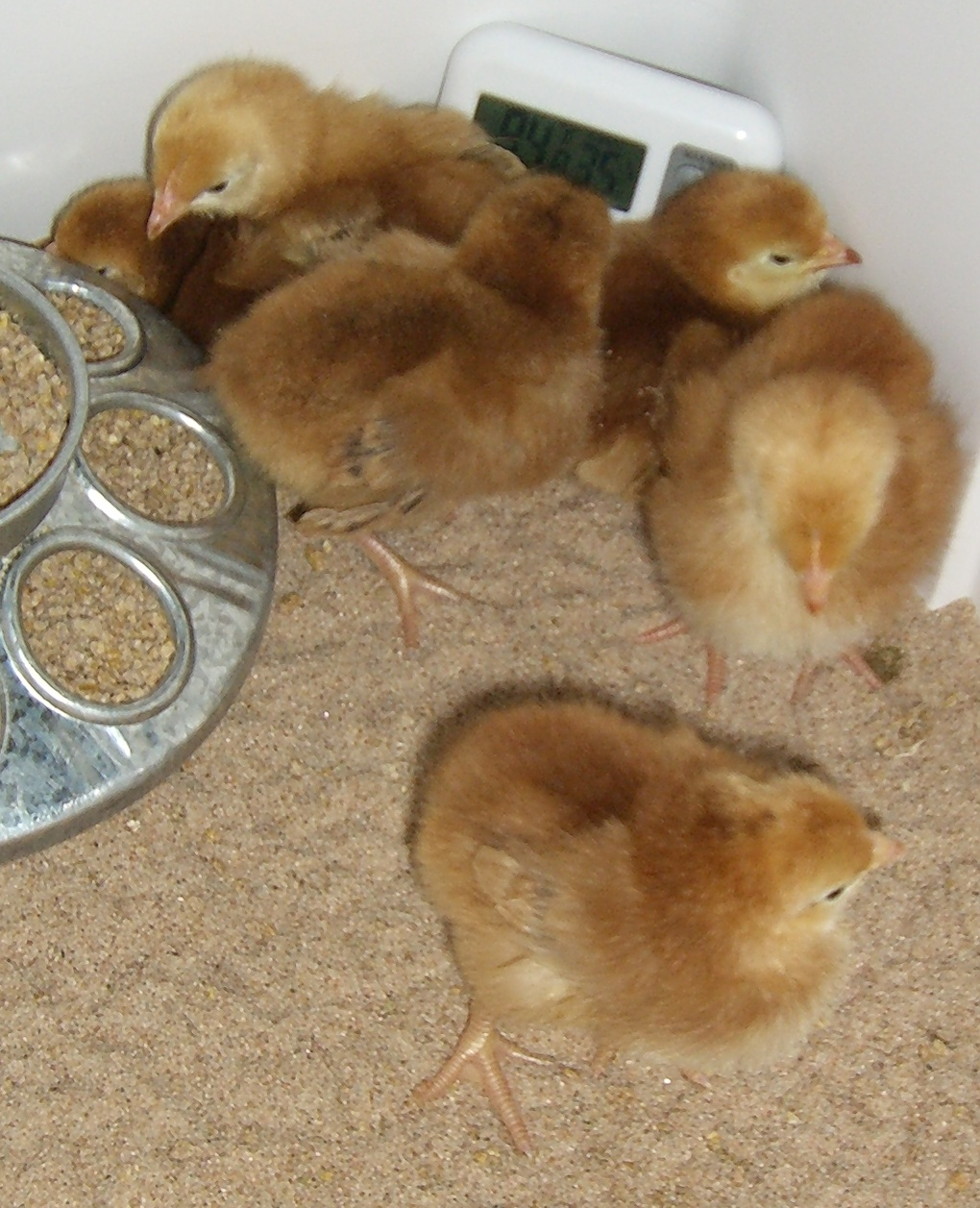 Chicken Lytle's Blog: Broody Hatching -- First Chick and ...