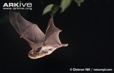 Schreiber´s long fingered Bat