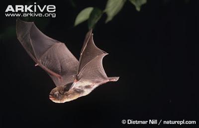 Schreiber´s long fingered Bat