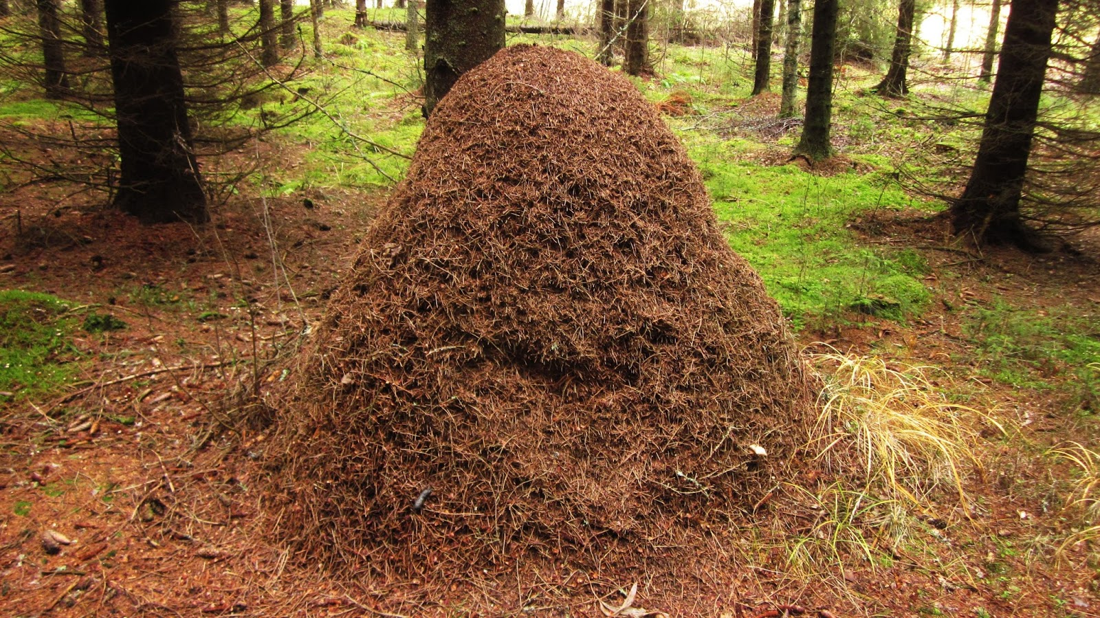 Picture of an anthill in the forest.
