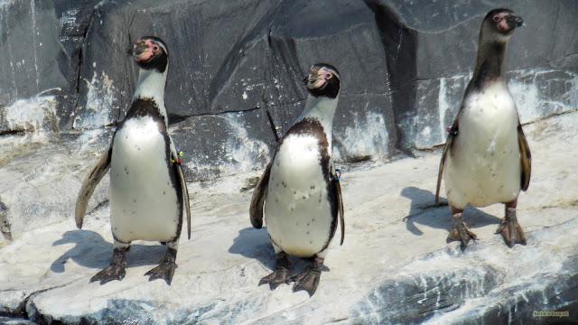 Rots met drie pinguins