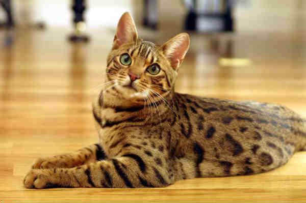 dog  Melhores Raças de Gatos para sua Família