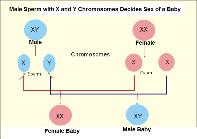 chromosomes and sex determination in Salford