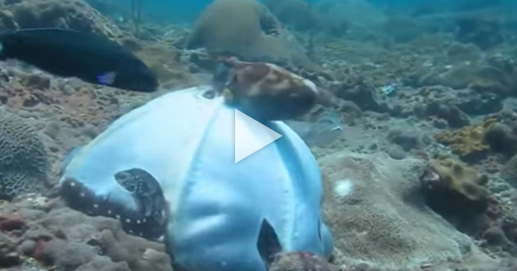 Giant Octopus instantly changes its color while hunting for food