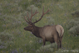 Cramer Imaging's quality wildlife photograph of a six point male elk, with full antlers, in a wildflower field, looking up