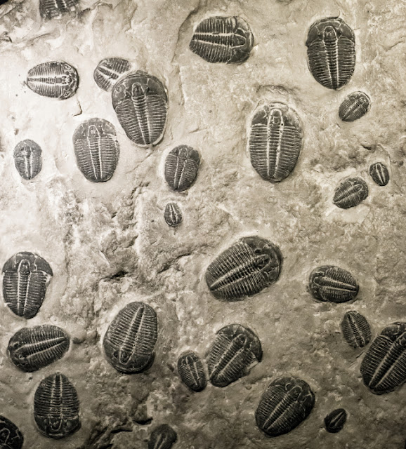 The Cambrian explosion in the fossil record. Ancient trilobites fossils in stone.