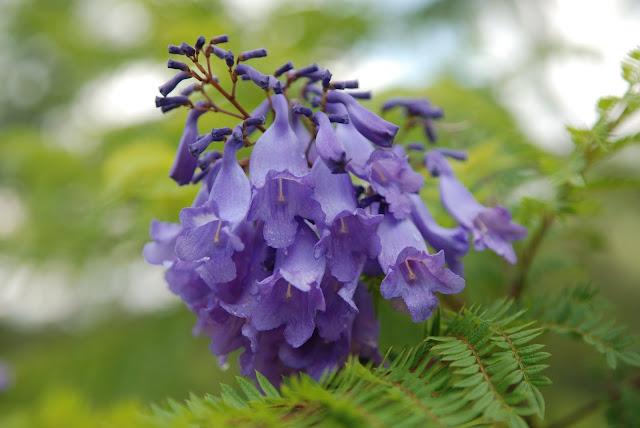 Hình ảnh hoa phượng tím Đà Lạt đẹp nhất vào tháng 3