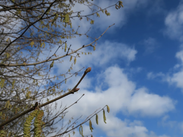 Catkins and blue Sky with fluffy white clouds