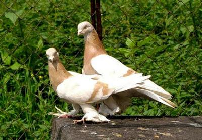 Agaran Pigeon racing pigeons- Агаран
