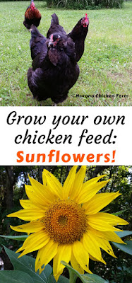 Grow your own chickens feed. Sunflower seeds