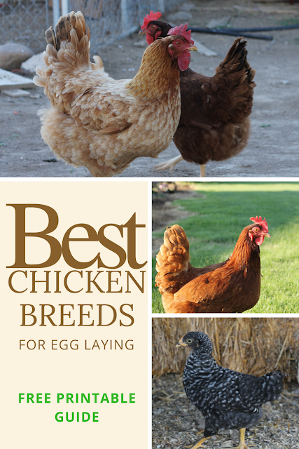 Best chicken breeds for laying